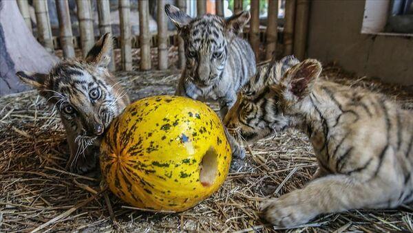 Aslan, Sibirya kaplanı, Bengal kaplanı, karakulak, vaşak, puma, siyah leopar gibi 13 türden canlıya ev sahipliği yapan Aslan Park'ta, 2 Bengal kaplanı, 2 Sibirya kaplanı ve 3 yavru Bengal kaplanına, kutlamalar kapsamında sevdikleri yiyecekler ve oyuncaklar verildi. - Sputnik Türkiye