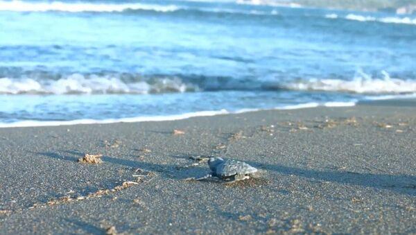 Koronavirüs döneminde, rekor sayıda yavru deniz kaplumbağası denize ulaştı - Sputnik Türkiye
