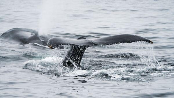 Kambur balina - Sputnik Türkiye