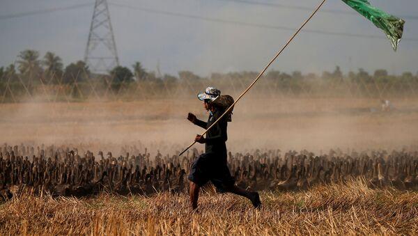 Pirinç hasadının tamamlandığı Tayland'da, tarlada kalan salyangoz gibi bitki zararlılarına karşı mücadele etmek amacıyla yaklaşık 10 bin ördekten oluşan bir 'ordu' göreve çağrıldı. - Sputnik Türkiye