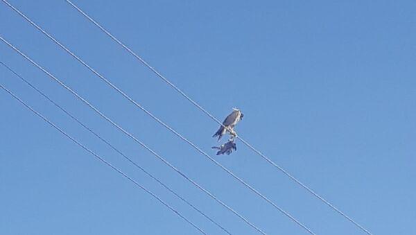 Ayaklarına kuş ölüsü bağlanıp, başına maske takılan şahin kurtarıldı - Hakkari - Sputnik Türkiye