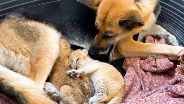 Rusya'da Alman kurdu cinsi köpek, aslan yavrularına annelik yaptı - Sputnik Türkiye