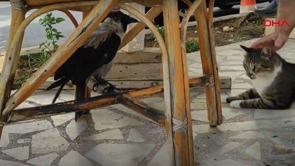 8 yıldır kedilerle yaşayan karga miyavlamaya başladı - Sputnik Türkiye