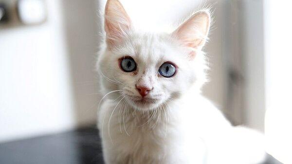 Yaklaşık iki yıl önce Van kedisine ilgi duymaya başladığını anlatan Sun, bu kedi türüyle ilgili pek çok kaynağı araştırdığını söyledi. - Sputnik Türkiye