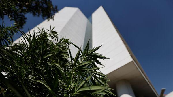 Esrar kullanımının yasallaşması tasarısının geçmesi için baskı kurmaya çalışan Meksika Kenevir Hareketi (Movimiento Cannábico Mexicano) üyeleri, yanlarına getirdikleri bitkilerle birlikte Senato bahçesine kamp kurdu. - Sputnik Türkiye