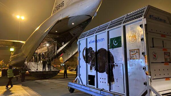 Kaavan isimli fil, uçağa bindirilerek Pakistan'dan Kamboçya'daki doğal yaşam sığınağına nakledildi. - Sputnik Türkiye