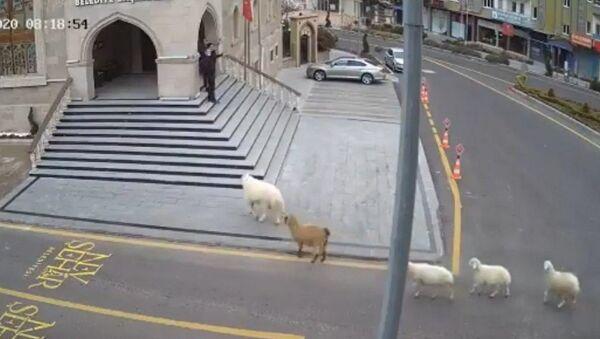 Nevşehir'de ahırdan kaçan 1 koyun, 1 keçi ve 3 kuzu, Nevşehir Belediye binasına geldi.  - Sputnik Türkiye