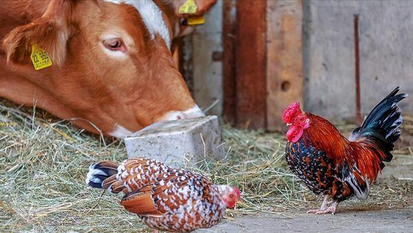 Sığır - tavuk -  Sığır ve kümes hayvanları  - Sputnik Türkiye