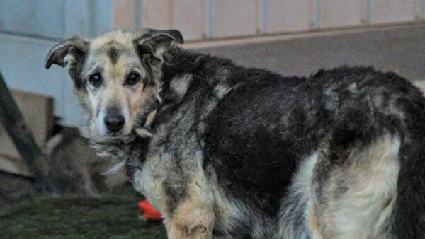 Tiner dökülerek yakılan köpek yaşama tutundu - Sputnik Türkiye