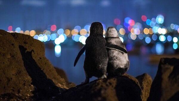 Alman fotoğrafçı Tobias Baumgaertner tarafından Avustralya'nın Melbourne kentinde çekilen, birbirini teselli eden iki dul kalmış penguenin fotoğrafı  - Sputnik Türkiye
