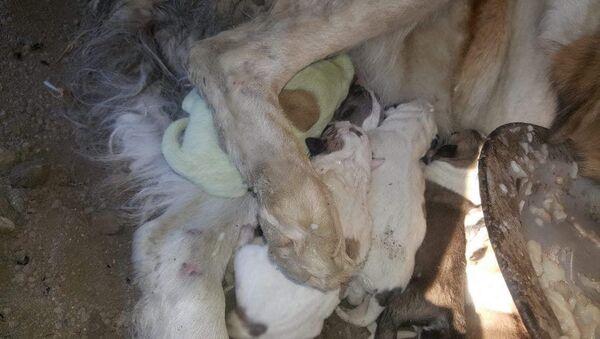 Gürcistan'da yılbaşından bir gün önce yeşil bir köpek dünyaya geldi - Sputnik Türkiye