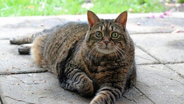 Kedi - şişman kedi - Sputnik Türkiye