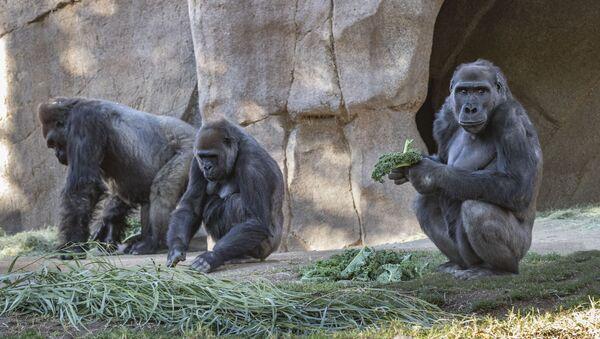 ABD'de esaret altındaki gorillere koronavirüs bulaştı - Sputnik Türkiye
