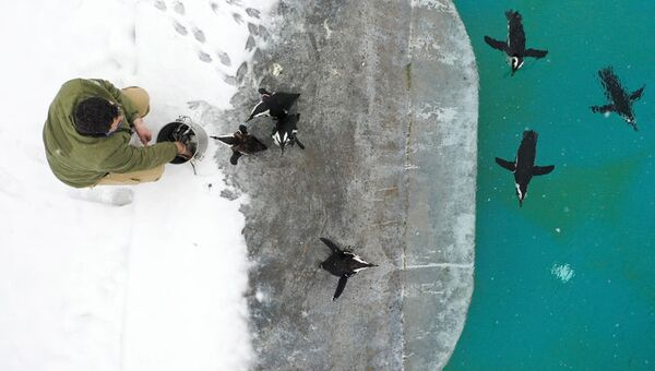 Bursa Hayvanat Bahçesi'ndeAfrika pengueni türüne ait16bireybulunuyor.Günlük üç öğünde yarım kilogram balık tüketenpenguenler, yemeğin ardından yüzüyor. - Sputnik Türkiye