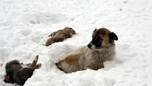 Van'da bir köpek, donarak ölen yavrularının başından 5 gündür ayrılmıyor - Sputnik Türkiye
