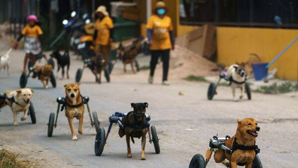 Tayland'daki engelli köpek barınağı koronavirüs salgını nedeniyle tehdit altında - Sputnik Türkiye
