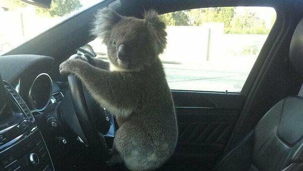 Avustralya'da koala önce trafik kazasına sebep oldu, ardından direksiyonda poz verdi - Sputnik Türkiye