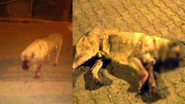 Sokak köpeğinin gözlerini oyup sopayla öldüresiye dövdüler - Sputnik Türkiye