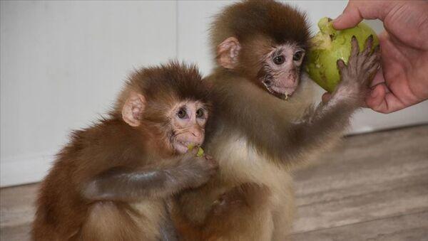 Sınırda yakalanan örümcek maymunları koruma altına alındı - Sputnik Türkiye