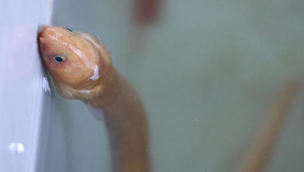 Türkiye'de ilk defa 'yılan kurdu balığı' görüntülendi - Sputnik Türkiye