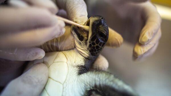 İsrail'in Akdeniz kıyısını kaplayan katran felaketinden kurtarılan 6 aylık yeşil deniz kaplumbağasına tedavi - Sputnik Türkiye