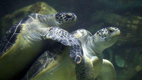Deniz Kaplumbağası - Sputnik Türkiye