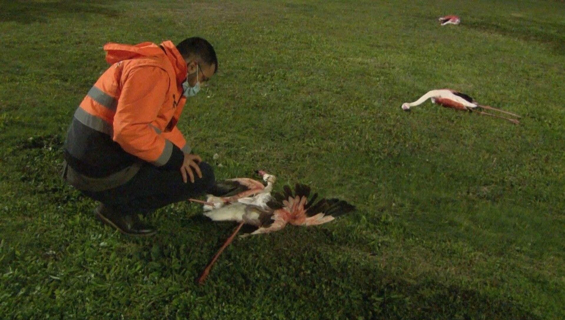İzmir'in özellikle Çiğli ilçesinde yaşayan ve ilçenin sembolü olan flamingoların Bayraklı sahilindeki toplu ölümü endişe uyandırdı. Sahilde telef olmuş halde bulunan 9 flamingo, Çiğli Belediyesi ekipleri tarafından toplandı. - Sputnik Türkiye, 1920, 28.03.2021