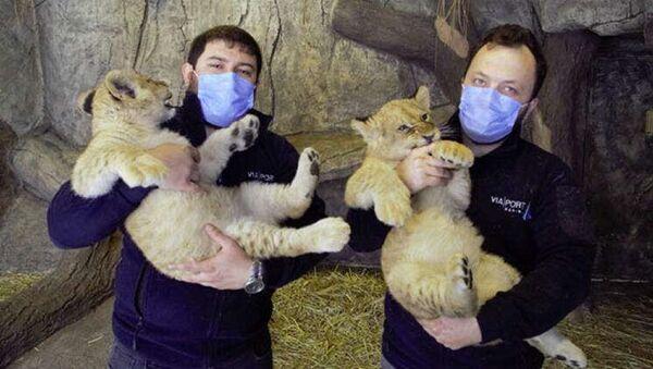 Yılın ilk yavru aslanları - Sputnik Türkiye