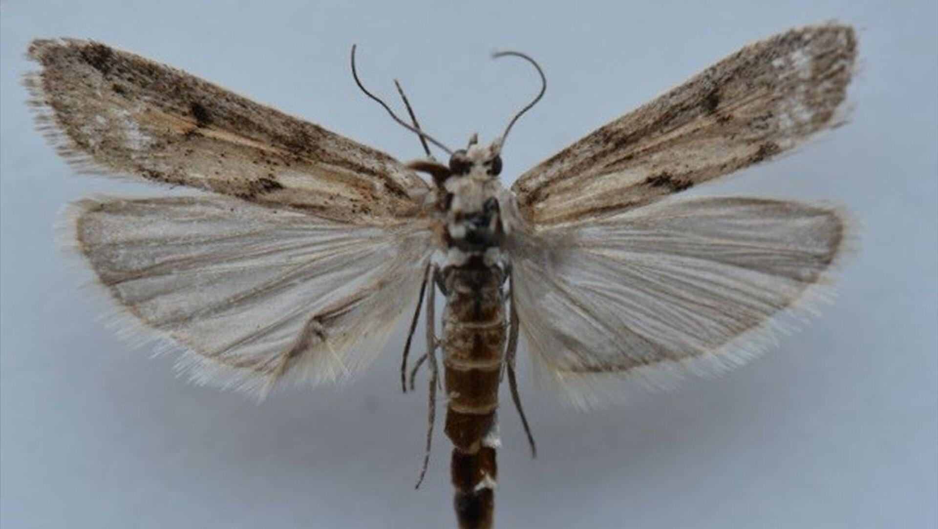 Ağrı Dağı'nda yapılan araştırmalarda yeni bir kelebek türü belirlendi. - Sputnik Türkiye, 1920, 07.04.2021