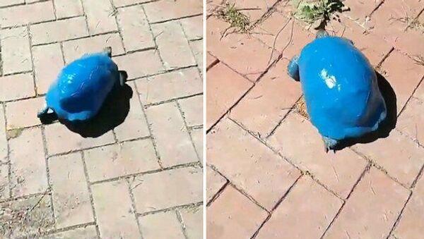 Antalya'da kimliği belirsiz kişi ya da kişiler, bir kara kaplumbağasını mavi renge boyadı. - Sputnik Türkiye