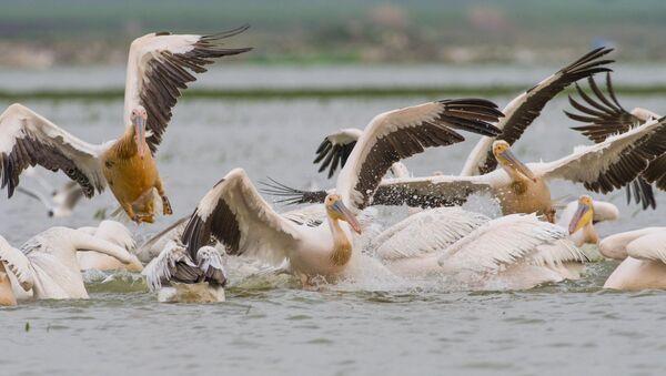 Ak pelikanlar - Sputnik Türkiye
