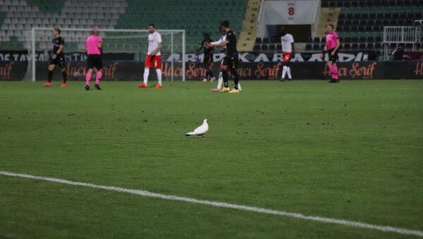 Süper Lig'in 37. haftasında oynanan Denizlispor - Sivasspor karşılaşmasında maç esnasında stadyumun üzerinde gezen beyaz güvercin yeşil sahaya indi ve yedek kulübesi tarafından bırakılan su kabından su içti. - Sputnik Türkiye