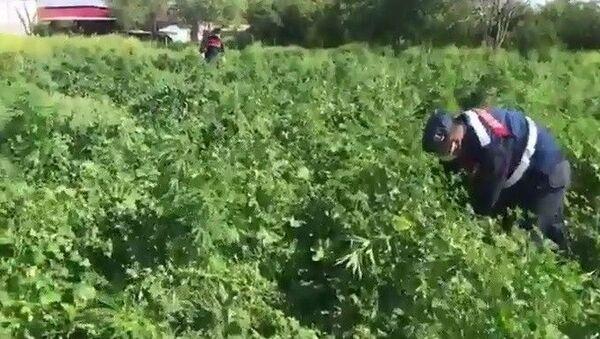 Evinin bahçesini esrar tarlasına çevirmiş - Sputnik Türkiye