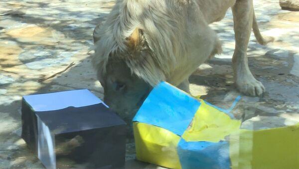 İstanbul Tuzla'da bulunan Aslan Park'ta dünyaya gelen beyaz aslan Pamuk - Sputnik Türkiye