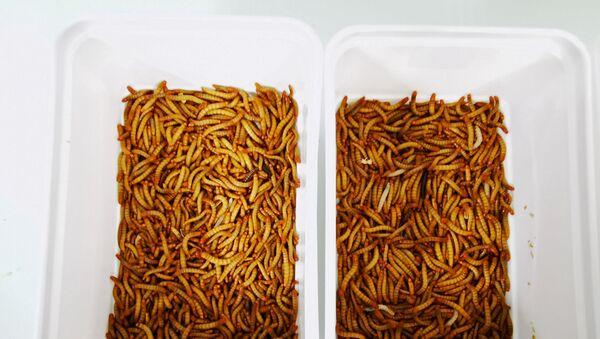 Böcek bazlı hayvan yemi ve gübre için un kurtları üreten böcek çiftliği Ynsect'in laboratuvarındaki kaplar (Fransa, Dole) - Sputnik Türkiye