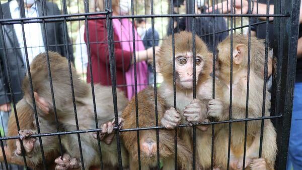 Ağrı'nın Doğubayazıt ilçesinde bulunan Gürbulak Gümrük Kapısı'nda bir araçtaki 2 kafes içerisinde bulunan ve yurda kaçak yollarla sokulmak istenen 12 makak maymunu, Gümrük Muhafaza Kaçakçılık ve İstihbarat Müdürlüğü ekiplerince yakalandı. - Sputnik Türkiye