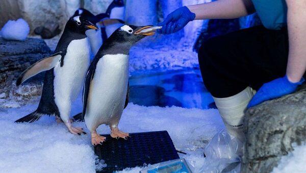Londra akvaryumunda eşcinsel penguenler çiftleşme ritüellerine başladı - Sputnik Türkiye