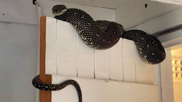 Avustralya'da bir evin çamaşır odasından 3 metrelik piton çıktı - Sputnik Türkiye