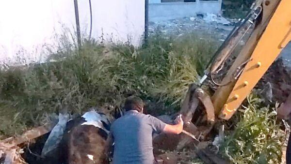 Çukura düşen inek iş makinasıyla kurtarıldı - Sputnik Türkiye