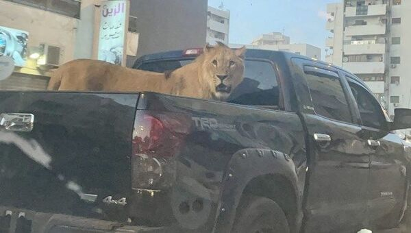 Libya'nın başkenti Trablus'ta bir aracın kasasında gezdirilen aslan görenleri şaşırttı. - Sputnik Türkiye