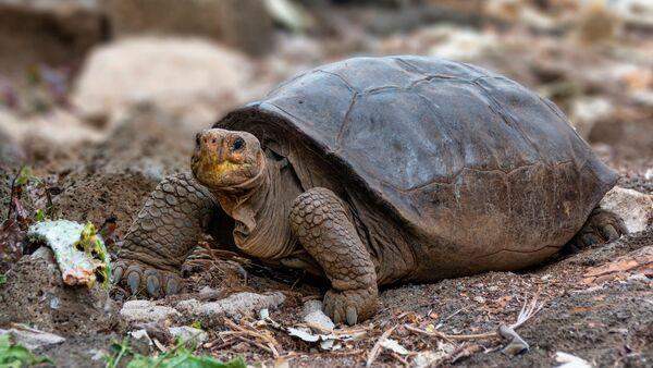 Galapagos Adaları'nda soyunun tükendiği sanılan Chelonoidis phantasticus kaplumbağa türünün hayattaki bir üyesi  - Sputnik Türkiye