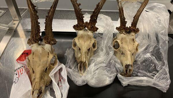 Türkiye'den getirdiği geyik kafataslarını Almanya'ya sokmak isteyen Türk yolcuya para cezası kesilerek, kafatasları imha edildi. - Sputnik Türkiye