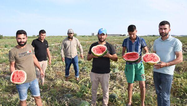 Türkiye'nin karpuz üretiminin önemli bir kısmını karşılayan Mersin'de ürünün olgunlaşmadan yapılan hasadı üreticinin tepkisine neden oldu. 10-15 gün önce hasadı yapılan karpuzların büyük kısmının ham çıkması nedeniyle yetişen karpuzlar gerçek değerini bulamadı. - Sputnik Türkiye