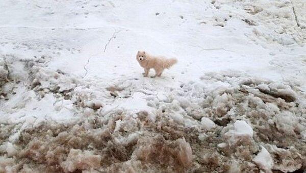 Kuzey Kutbu'nda görevli bir Rus buzkıran gemisi, buzullarda mahsur kalan kayıp köpeği kurtardı. - Sputnik Türkiye