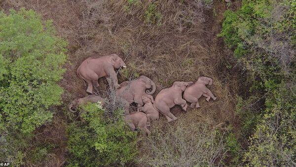 Çin'de 500 kilometre yol kat eden firari filler dinlenirken görüntülendi - Sputnik Türkiye