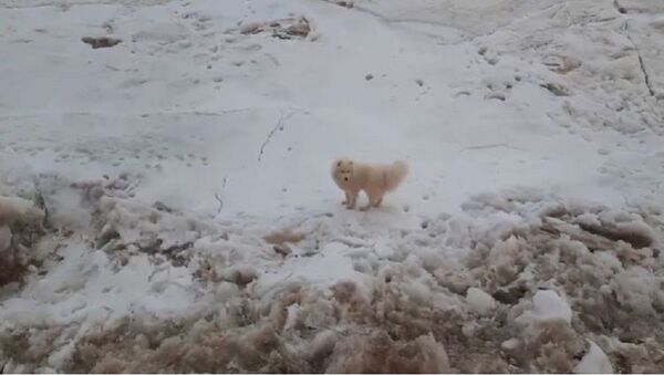 Rus buzkıran gemisinin mürettebatı, buz üstünde kalan bir köpeği kurtardı - Sputnik Türkiye