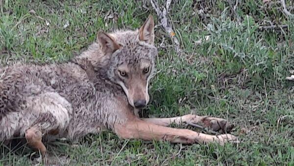 Çorum'da düştüğü su kuyusundan kurtarılan kurt sağlık kontrolünden geçirildikten sonra doğaya salındı. - Sputnik Türkiye
