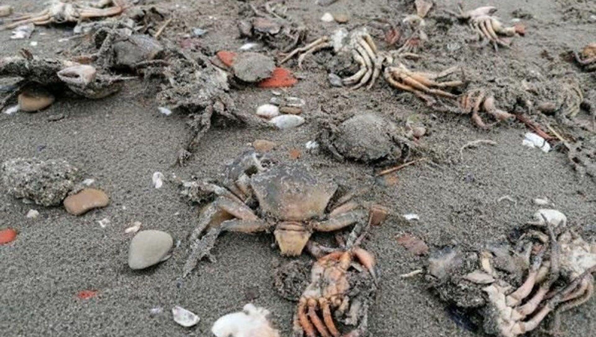 İstanbul Silivri'de toplu yengeç ölümü: Müsilaj kaynaklı olabilir - Sputnik Türkiye, 1920, 19.06.2021