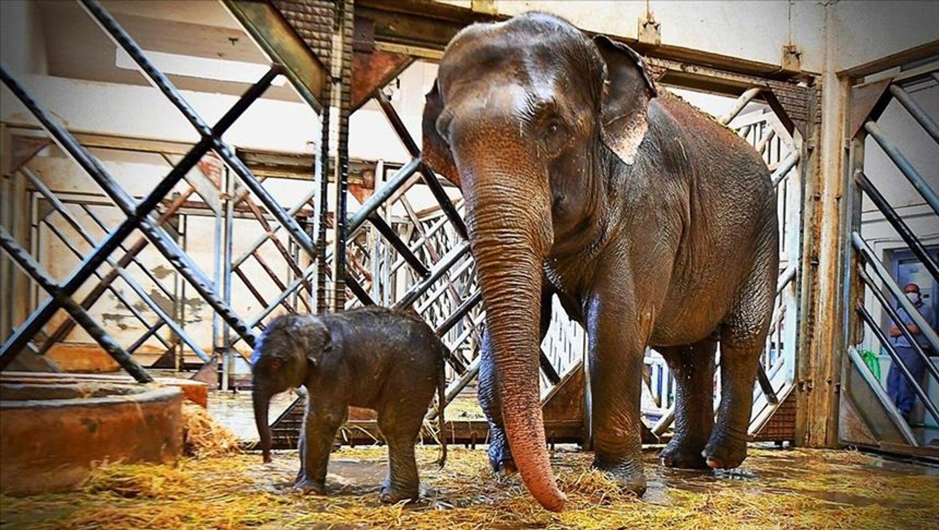 İzmir Doğal Yaşam Parkı'nda yavru fil heyecanı: Begümcan doğum yaptı - Sputnik Türkiye, 1920, 20.06.2021
