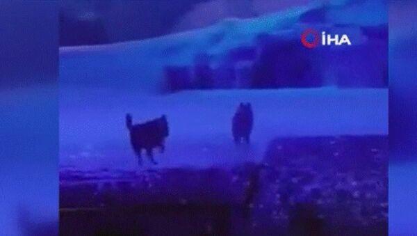 Çin'in Xi'an kentinde bir tiyatro gösterisinde gerçek kurtların kullanılması tepkilere neden oldu. - Sputnik Türkiye